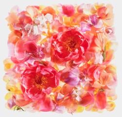 Peonies among flower petals
