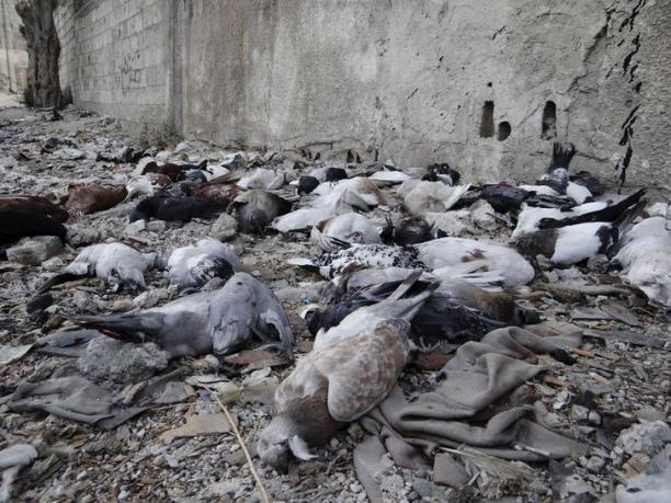 Pigeons lie on the ground after dying from what activists say is the use of chemical weapons by forces loyal to President Bashar Al-Assad in Damascus