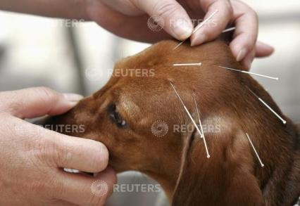 A dog undergoes acupuncture therapy for a facial spasm at a vet clinic in north China's Tianjin municipality