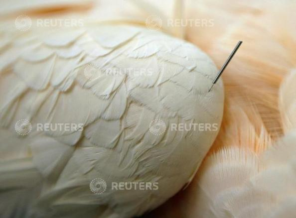 An acupuncture needle sticks out from the wing of Ashley, a Moluccan Cockatoo, at the Angell Animal Medical Center in Boston