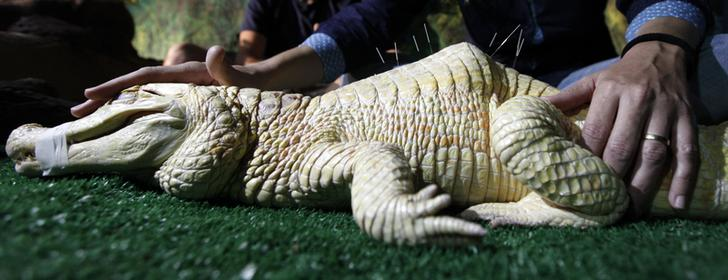 "Male albino caiman alligator called ""Bino"" receives acupuncture treatment at Sao Paulo aquarium in Sao Paulo"