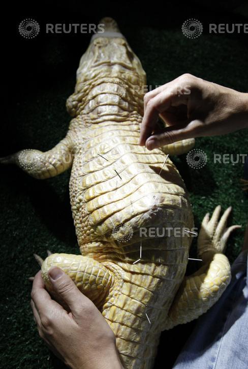 "Male albino caiman alligator called ""Bino"" receives acupuncture treatment at Sao Paulo aquarium in Sao Paulo"