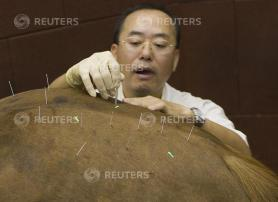 Veterinary surgeon Chan inserts needles in a horse during an acupuncture therapy session at the Hong Kong Jockey Club