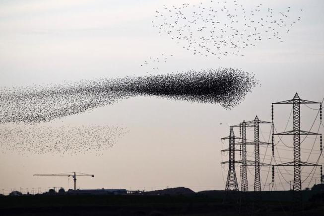 A flock of starlings fly next to power lines over an agricultural field near the southern Israeli city of Netivot January 24, 2013. REUTERS/Amir Cohen (ISRAEL - Tags: ANIMALS ENVIRONMENT)