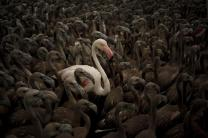 A flamingo and flamingo chicks are seen in a corral before being fitted with identity rings at dawn at a lagoon in the Fuente de Piedra natural reserve, in Fuente de Piedra, near Malaga, southern Spain, August 8, 2015. Around 600 flamingo chicks were tagged and measured before being placed in the lagoon, one of the largest colonies of flamingos in Europe, according to authorities of the natural reserve. REUTERS/Jon Nazca TPX IMAGES OF THE DAY