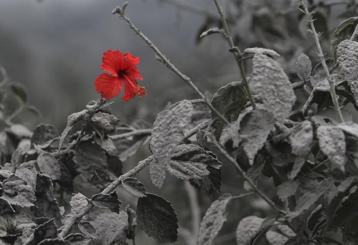 A hibiscus flower is seen on an ash-covered plant at Mardingding village in Karo district, Indonesia's north Sumatra province November 19, 2013. The volcano continued to emit volcanic ash on Monday, throwing an 8,000m (26,247 ft)-high plume into the atmosphere, as thousands of residents fearful of more eruptions remained in temporary shelters, according to local media. REUTERS/Roni Bintang (INDONESIA - Tags: DISASTER ENVIRONMENT TPX IMAGES OF THE DAY)