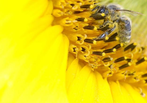 A bee collects nectar from a sunflower on a field near the northern Swiss town of Leibstadt July 9, 2012. Syngenta and Bayer, top producers of the pesticides blamed for a sharp fall in bee populations around the world, have proposed a plan to support bee health to try to forestall a European Union ban on the products. Picture taken July 9, 2012. REUTERS/Arnd Wiegmann (SWITZERLAND - Tags: ENVIRONMENT SCIENCE TECHNOLOGY AGRICULTURE ANIMALS BUSINESS)